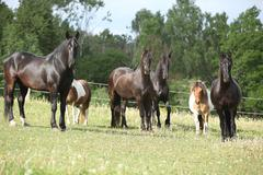 Batch of black horses on pasturage Stock Photos