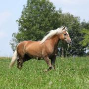 beautiful haflinger running in freedom while eating grass - stock photo
