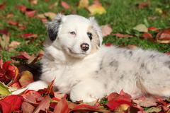 Stock Photo of adorable border collie puppy lying in red leaves