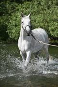 white english thoroughbred horse in river - stock photo