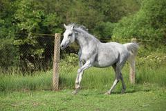 White english thoroughbred horse in paddock Stock Photos