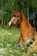 portrait of chestnut arabian stallion with perfect harness - stock photo