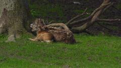European mouflon - Ovis orientalis musimon Stock Footage