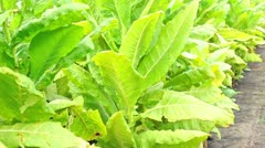 Manual worker in a tobacco field Stock Footage