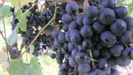 Stock Video Footage of Lemberger grapes near Stetten, Wurttemberg, Germany