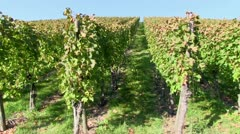 Vines near Stetten, Wurttemberg, Germany - stock footage