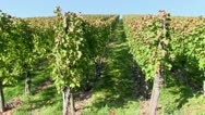 Stock Video Footage of Vines near Stetten, Wurttemberg, Germany