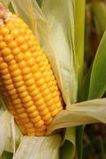 maize - stock photo