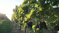 Blaufrankisch grapes on a vines in Burgenland, Austria Stock Footage
