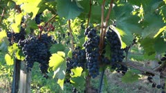Blaufrankisch grapes on a vine in Burgenland, Austria Stock Footage