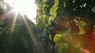 Stock Video Footage of Blaufrankisch grapes on a vine in Burgenland, Austria