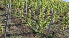 A vineyard in Possnitzberg, Steiermark, Austria Stock Footage