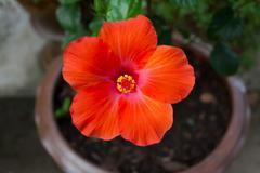 orange hibiscus flower - stock photo