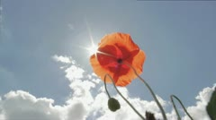 A poppy in the sunshine Stock Footage