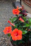 orange hibiscus flowers - stock photo