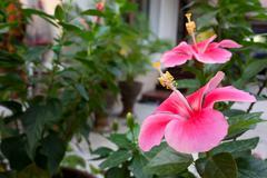 Pink hibiscus flowers Stock Photos