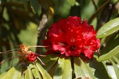 red bougainvillea - stock photo