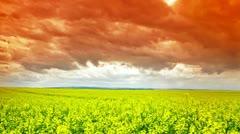 Yellow flowers field, Oilseed - stock footage