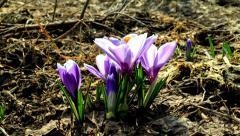 Flowers bloom in spring. 4K Stock Footage