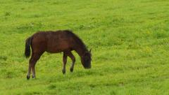 Brown foal on the meadow. Stock Footage
