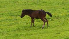 Brown foal pees on the meadow. - stock footage