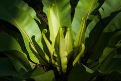 Bird nest fern Stock Photos