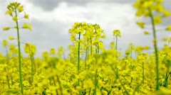 Yellow flowers field, Oilseed Stock Footage