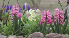 Hyacinths and primroses being watered with a watering can Stock Footage