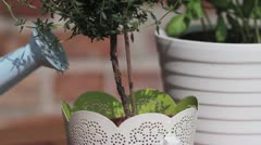 Thyme in a pot being watered with a watering can Stock Footage