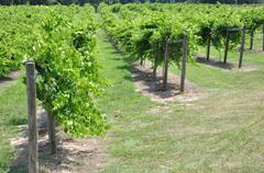 grape vineyard winery - stock photo