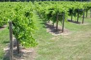 Stock Photo of grape vineyard winery