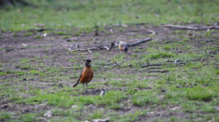 Two Small Robbin Birds Walking On The Grassy Ground (4) Stock Footage