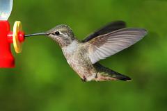 annas hummingbird (calypte anna) - stock photo