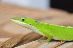 carolina anole lizard - stock photo