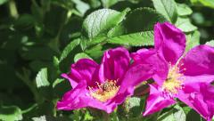 Two purple flowers of dog-rose Stock Footage