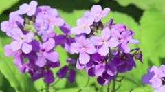 Violet flower on light breeze - stock footage
