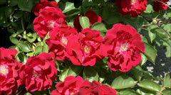 Roses wild flowers Stock Footage