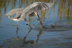 Heron catching american eel Stock Photos