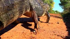 Alligator (Yacaré) - stock footage