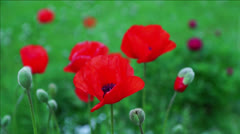 Red poppies Stock Footage