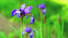 Siberian Iris Stock Footage