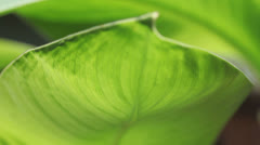 Tropical leaf Stock Footage