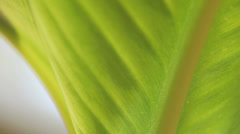 Tropical leaf closeup Stock Footage