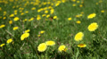 Loop: Bright yellow dandelions in expanse of grass Footage