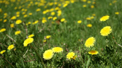 Loop: Bright yellow dandelions in expanse of grass Stock Footage
