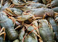 living crawfish - stock photo