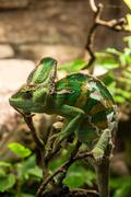 portret green chameleon on the plante - stock photo