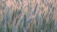Wheat Harvest in Field at Sunset, Crop of Cereals, Agriculture Land, Farming Stock Footage