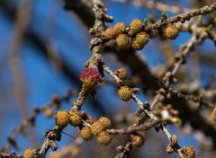 brunch of larch with small cones and flower - stock photo
