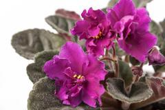 Indoor herb - violet flowers of viola Stock Photos